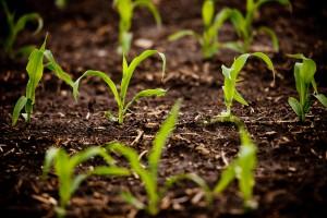 Corn field on University of Illinois South Farms.
